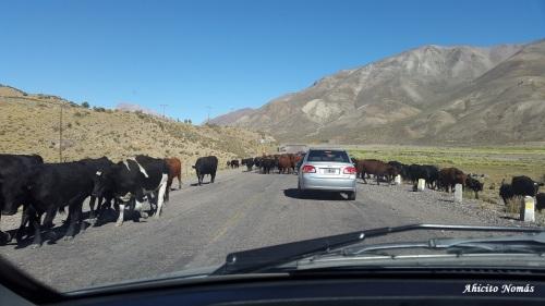 Vacas en la 222
