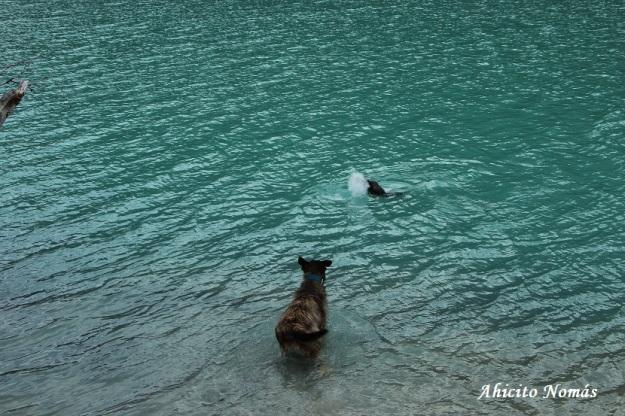 El perro y el castor